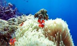 anemonenfisch-ägypten-schnorcheln