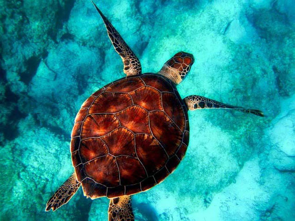 Meeresschildkröte in einem Schnorchel Hotspot