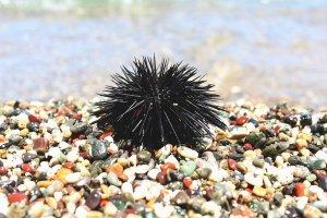 Seeigel als Gefahr beim Schnorcheln auf Mauritius